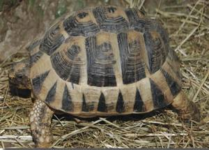 tortue mauresque photo